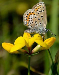 azuré sur fleur de lotier