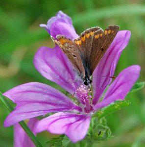 papillon collection